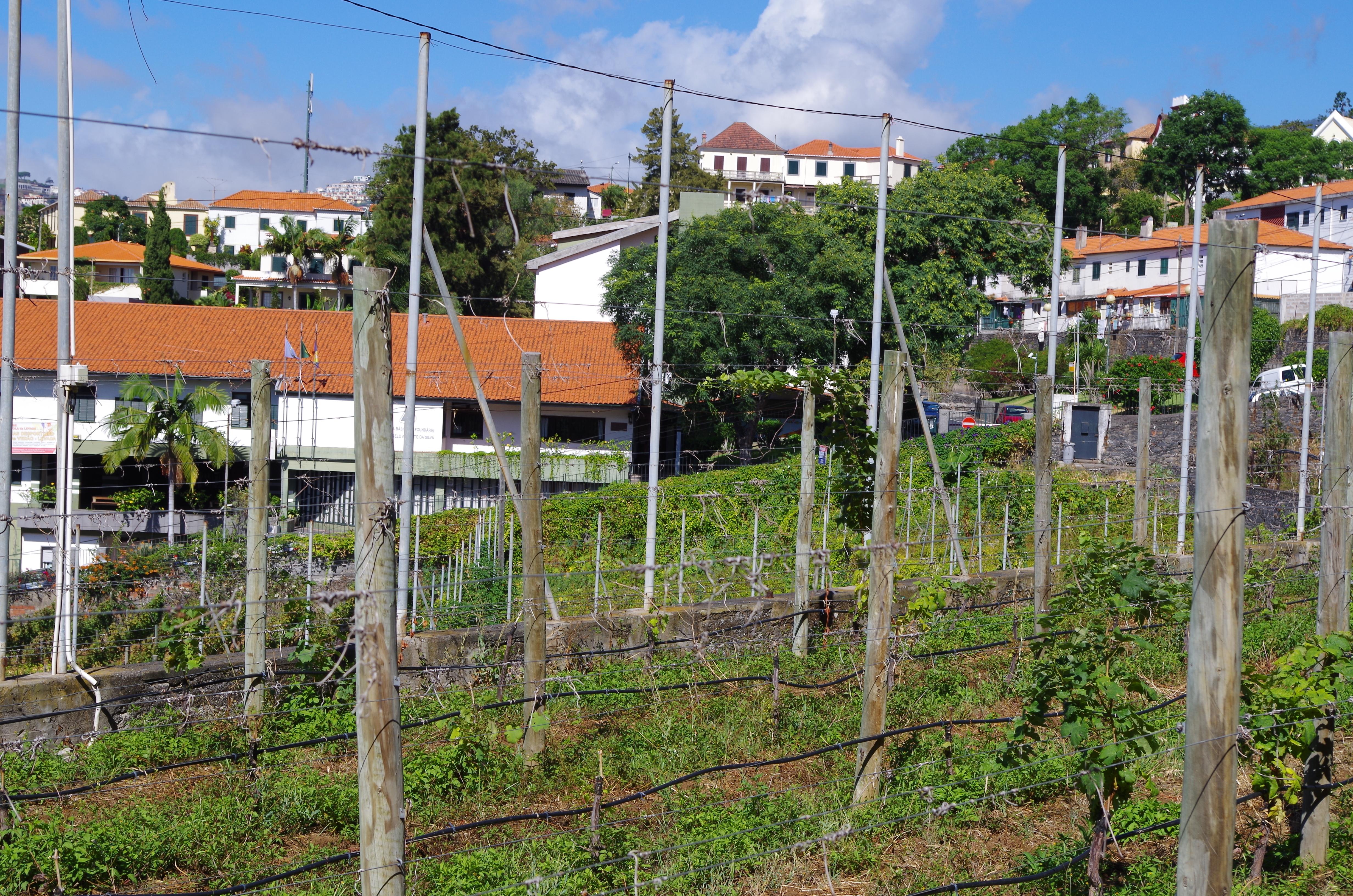 Blandy's vineyard in Funchal
