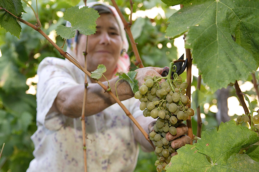 Madeira grapes being harvested (Blandy's)