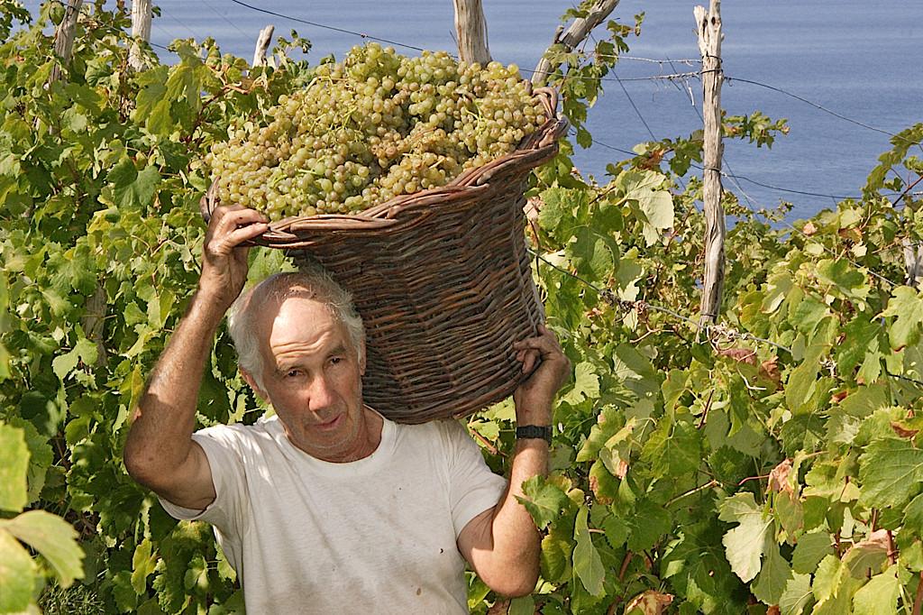 Madeira wine harvest (Blandy's)