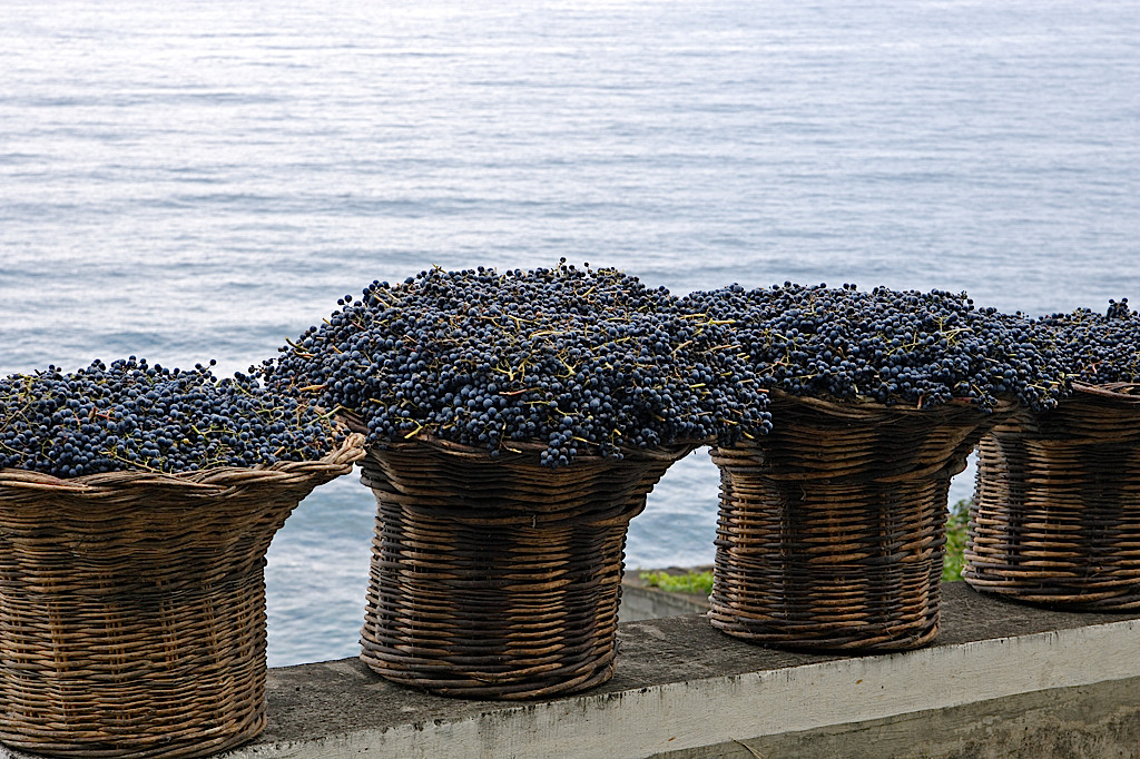 Tinta negra grapes harvested in Madeira (Blandy's)