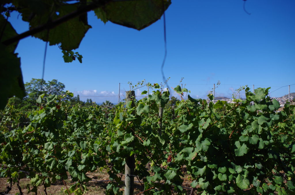 Madeira vineyard in Funchal