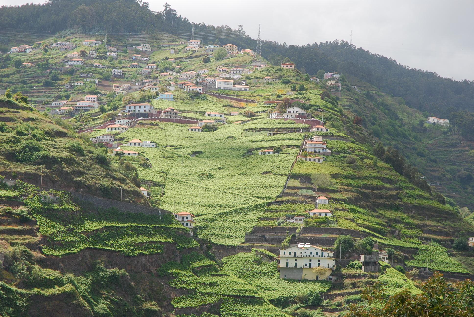 Latada vineyards of Madeira (Broadbent)