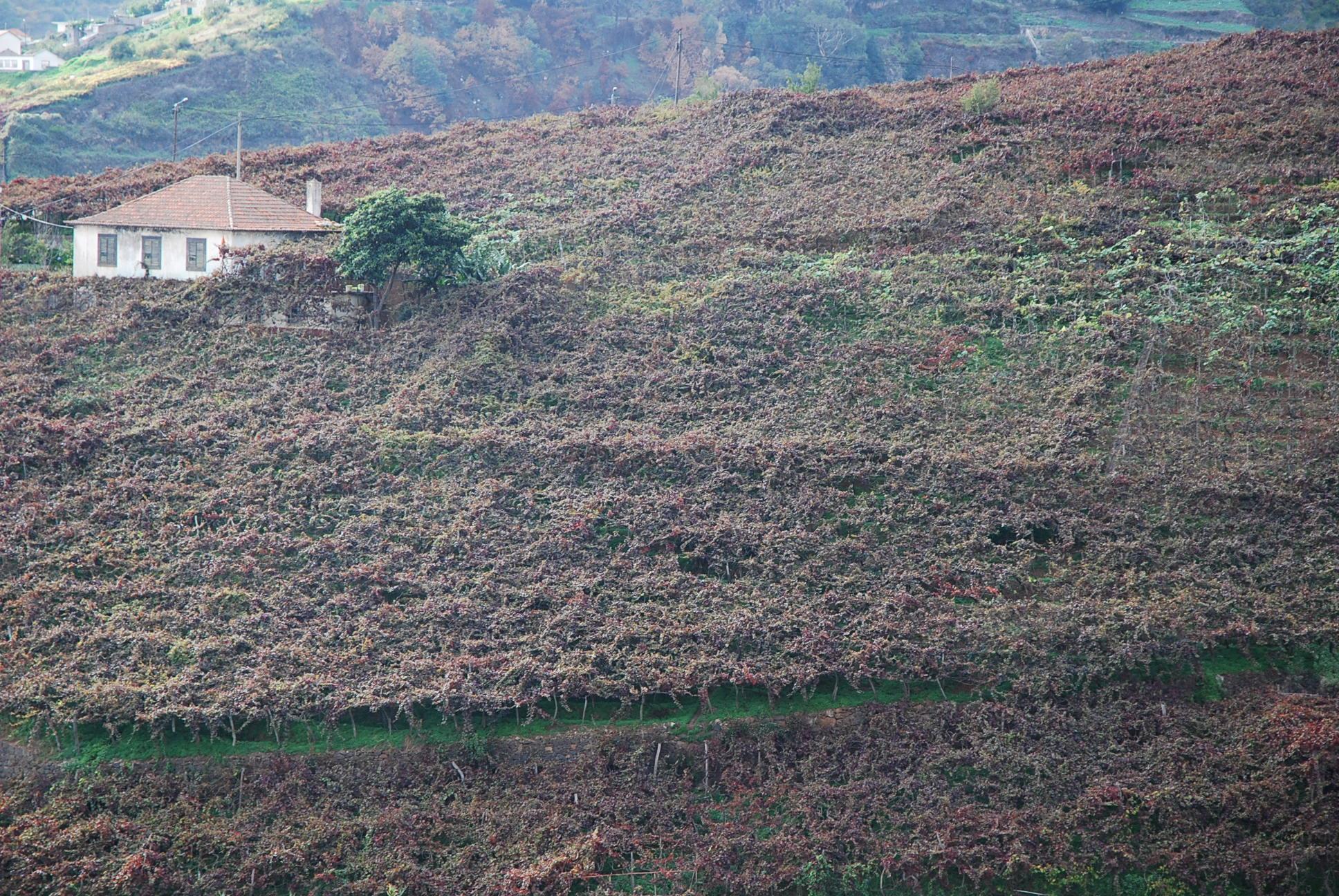 Latada-vineyards of Madeira (Broadbent)