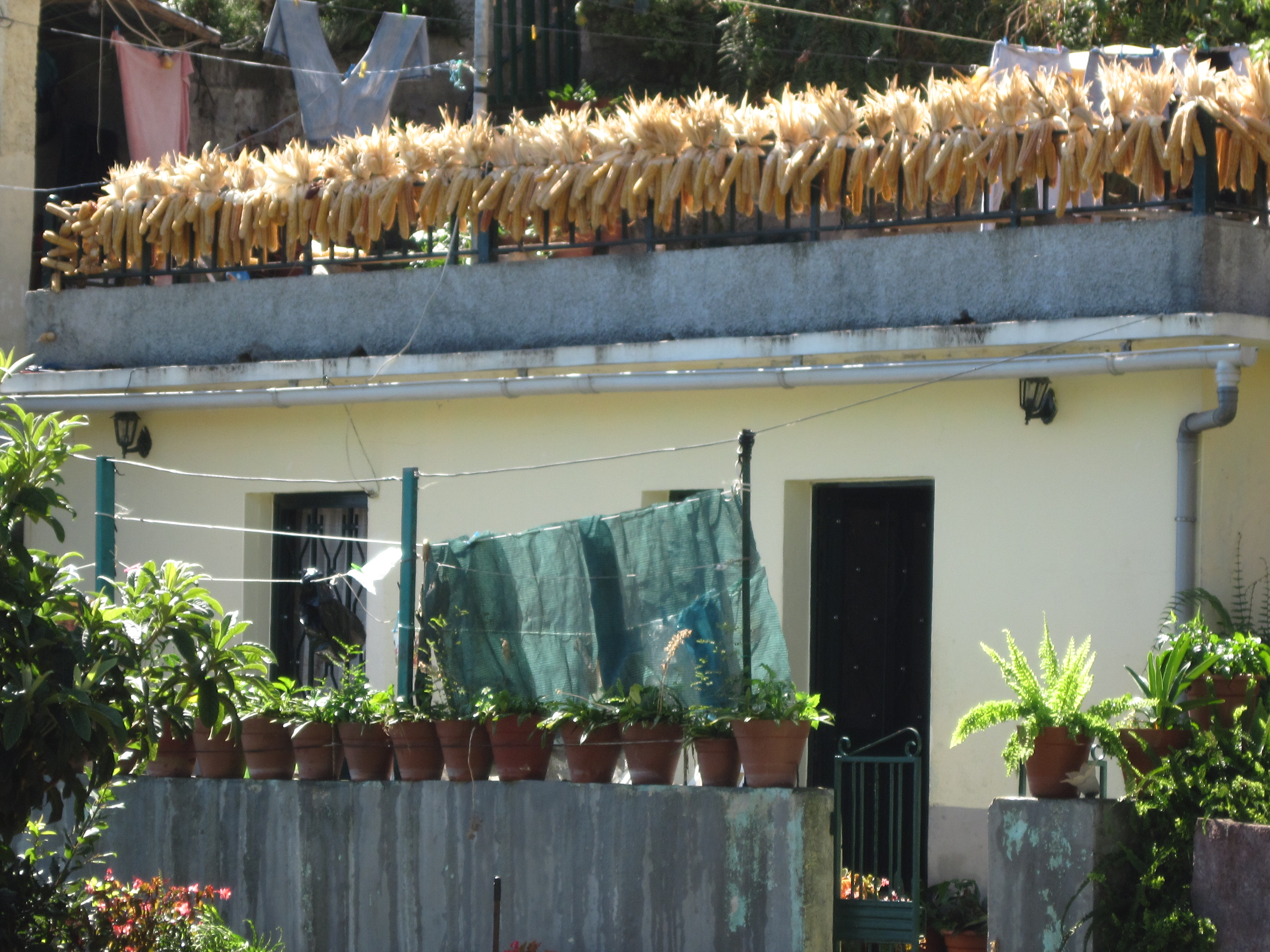 Sweetcorn drying in the sun